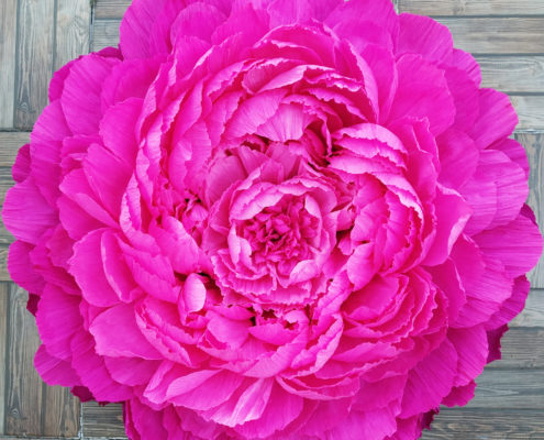 Paper flower: giant fuschia peony